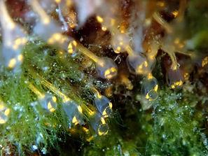 ascidias estoloniferas pycnoclavella
