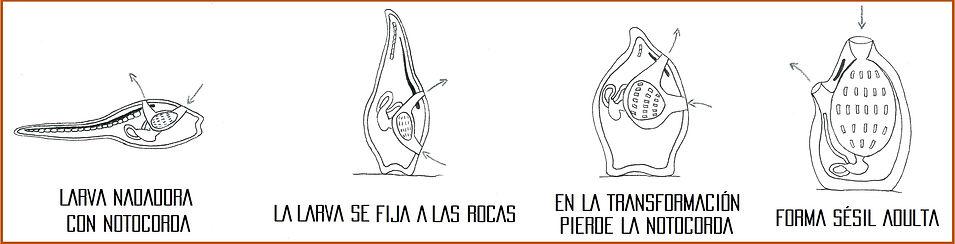 debuxo_piña_de_mar.jpg