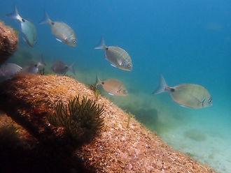 banco de sargos peces oseos