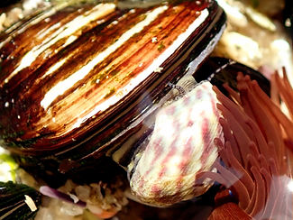 Gibbula magus P4110207 rec.JPG
