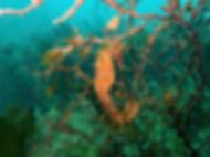 alga parda galicia Cistoseira baccata  caballito