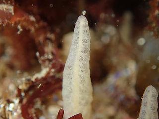 Ciocalypta penicillus esponja cojín