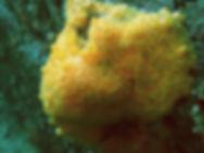 esponja marina amarilla cliona celata