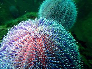 erizo de mar Echinus esculentus