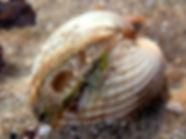 croque berberecho cerastoderma edule