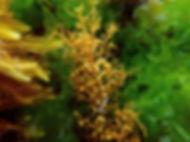 alga parda invasora sargazo Sargassum muticum