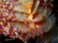 gusano anélido poliqueto tubícola espirógrafo sabella spallanzanii