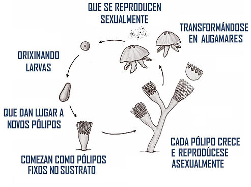 ciclo de los cnidariob GAL.jpg