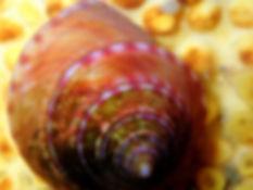 Callyostoma zizyphinum P3100032.JPG