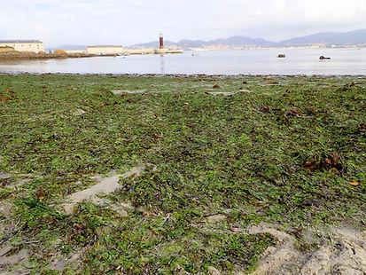 alga verde ulva lechuga marea verde.JPG