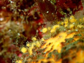esponja naranja de mar Thetya citrina aurantium