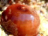 anemona cnidario tomate de mar Actinia equina