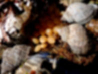 perro caracol de mar nucella lapillus