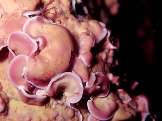 alga roja Mesophyllum lichenoides