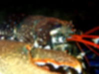 bogavante lumbrigante homarus gammarus