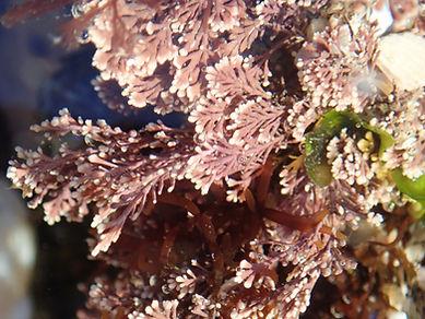 alga roja corallina elongata