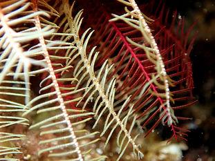 equinodermo crinoideo lirio de mar