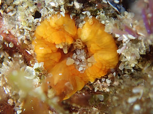 anémona coral taza Balanophyllia regia