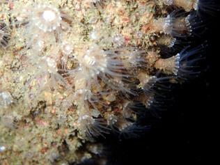 Epizoanthus couchii P5010103b.JPG