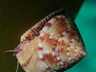 caracol de mar caramuxo trompo Callyostoma zizyphinum