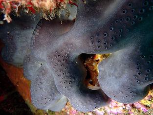 esponja marina piel de elefante Pachymatisma johnstonia
