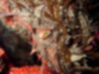 Centolla maja brachydactyla