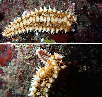 equinodermos estrella de mar regeneración