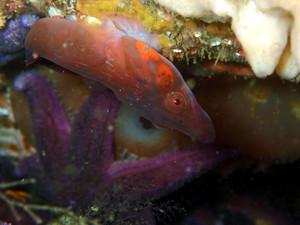 chafarrocas (Lepadogaster candollei) P72