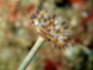 gusano anélido poliqueto tubícola Sabella discifera