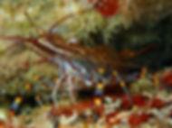 camarones palaemon serratus