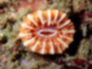 anémona coral taza Caryophyllia smithii
