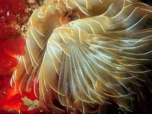 gusano anélido poliqueto tubícola protula tubularia