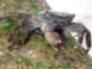 cangrejo corredor queimacasas pachygrapsus marmoratus