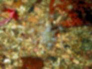 cnidario coral blando coral estrella