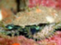 haliotistuberculataoreja de mar