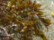 cangrejo fantasma macropodia sp.