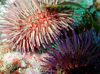 erizo de mar Paracentrotus lividus