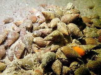 Nassarius reticulata  margarita de mar