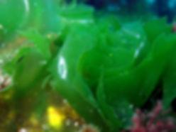 alga verde galicia Ulva lactuca