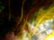 algas pardas laminaria wakame Undaria pinnatifida