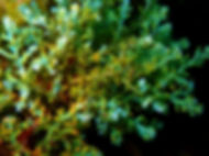 alga parda galicia Cystoseira tamariscifolia tamarisco