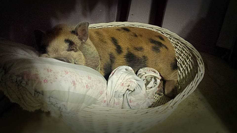 young Potbelly pig in a pet bed