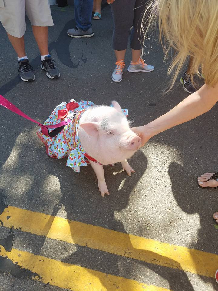 pink pig in dress on a leash