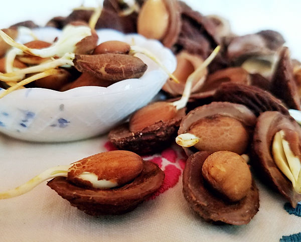 sprouted peach seeds for planting