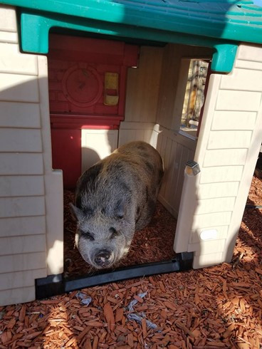 spotted potbelly pig in a kids playhouse