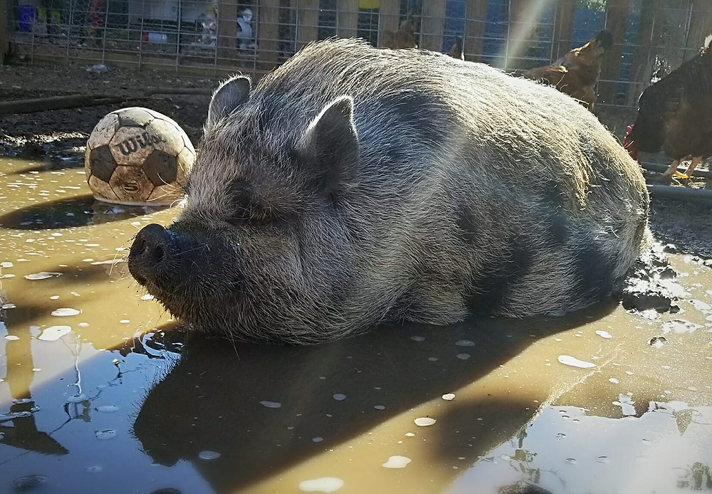 spotted potbelly pig in the mud