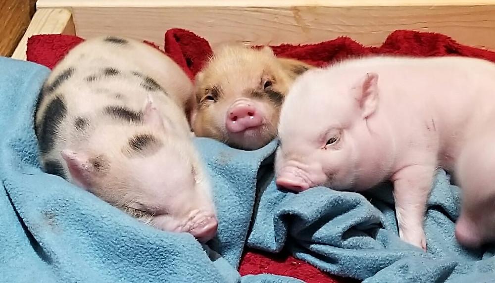 three cute potbelly mix piglets