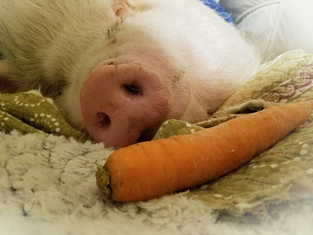 pink mini pig and carrot