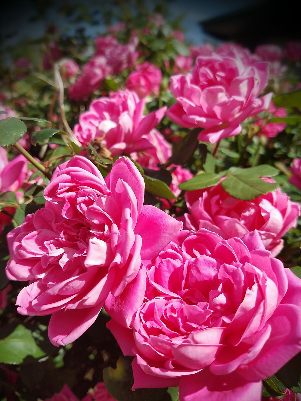 pink roses knock out