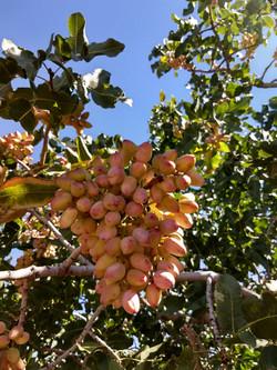 phone pistachio picture.jpg